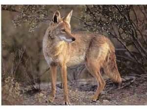 Coyote_000